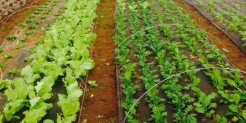 Veggie crops at Shalefield Organic Gardens