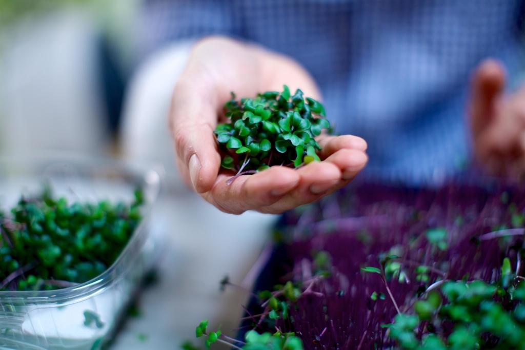 Sky Harvest microgreens