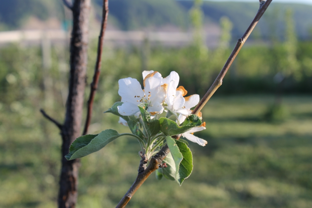 Blossoms on organic farm in Peace Region