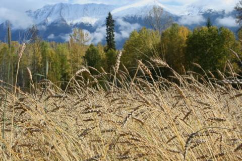 Red Fife Wheat at Woodgrain Farm