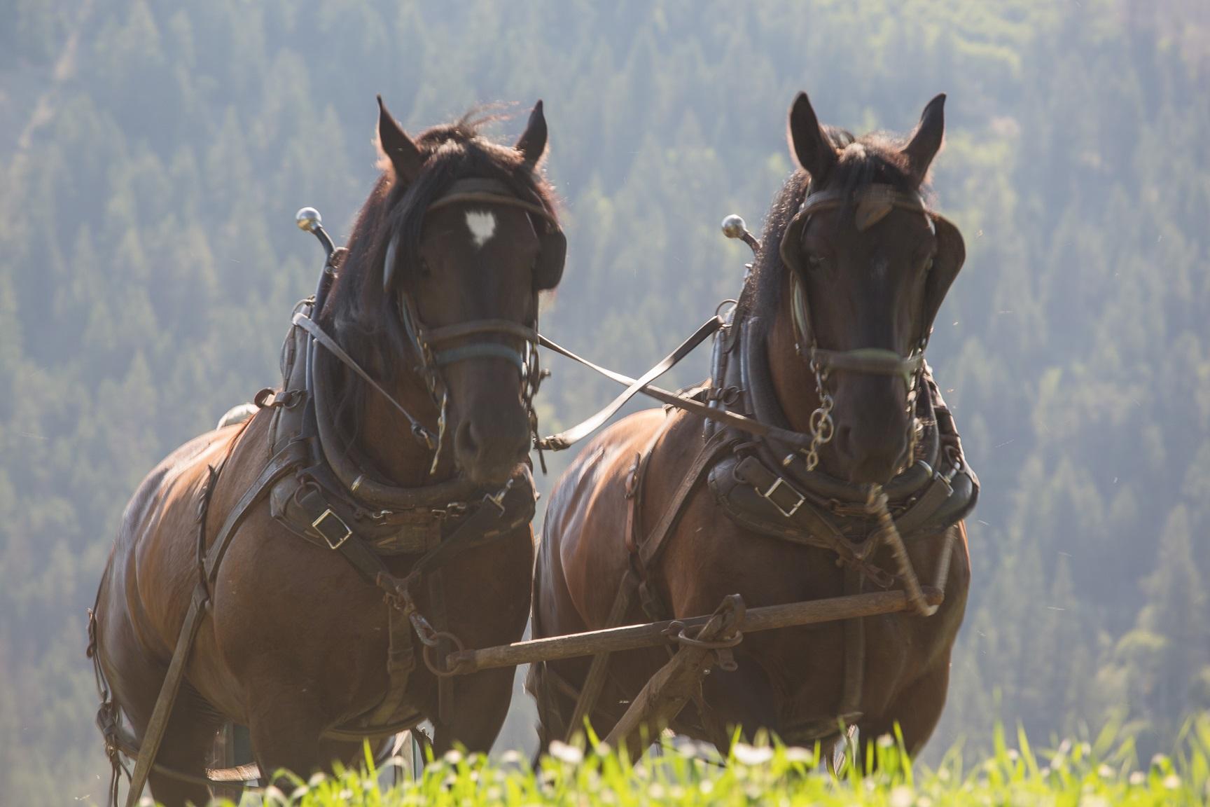 Traditonal farm horses
