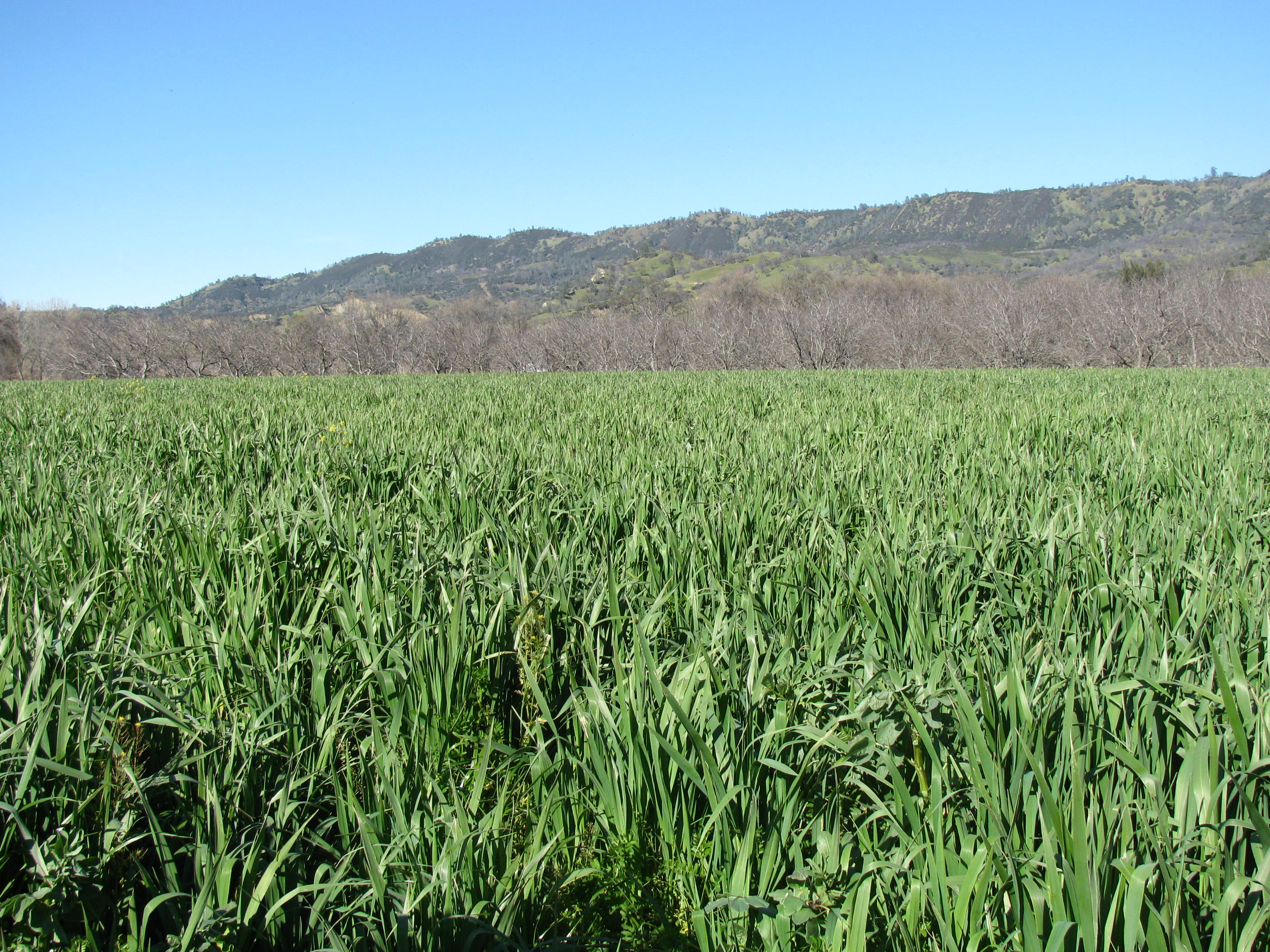 Field of green rye and legume with mountains in the background and blue sky